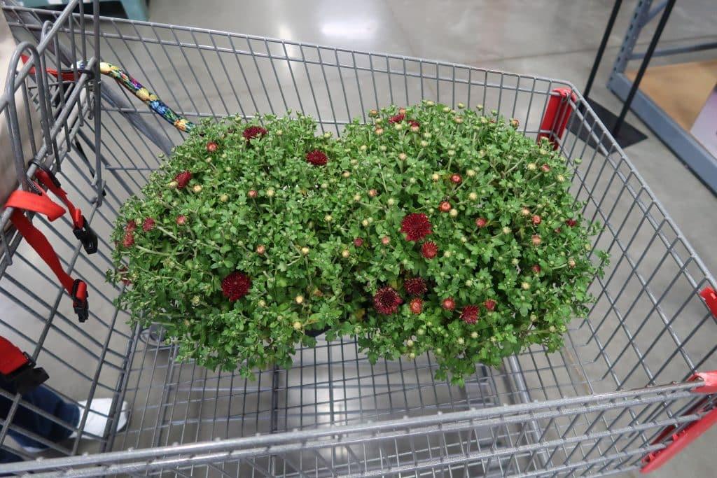 mums-plants-bjs-wholesale-club