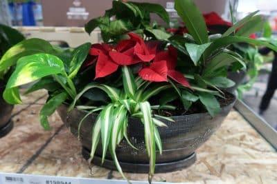 holiday planters at BJs wholesale club