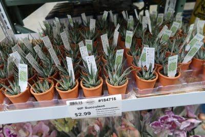 succulents at BJs best price